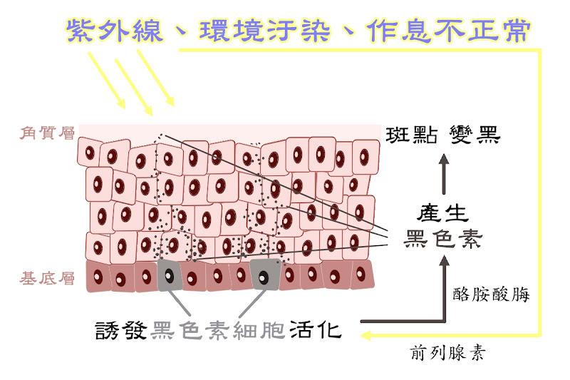 瑞桂傳明酸淨白精華液,傳明酸抑制黑色素細胞活性,減少黑色素生成與聚集