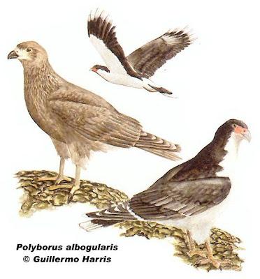 Matamico blanco Phalcoboenus albogularis
