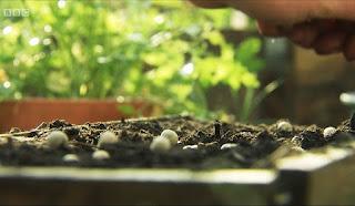 Edible Garden Pea Shoots