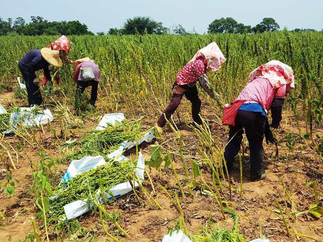 【菜脯埕】人工採收黑芝麻一偶,可以看到我們是紅土種植的