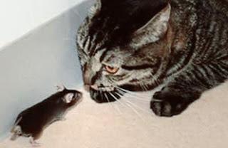 Bahaya dan Penyebab Kucing Makan Tikus