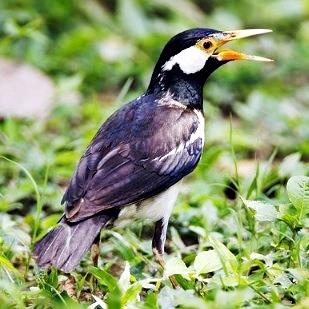 Daftar Harga Burung Jalak Suren Terbaru Burung Pengicau