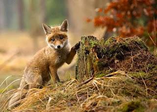 gambar anak serigala rubah imut