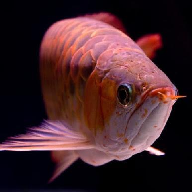 Ikan Arwana : Jenis-jenis, Ciri dan Harga