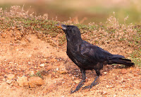 Jungle crow birds of karnataka