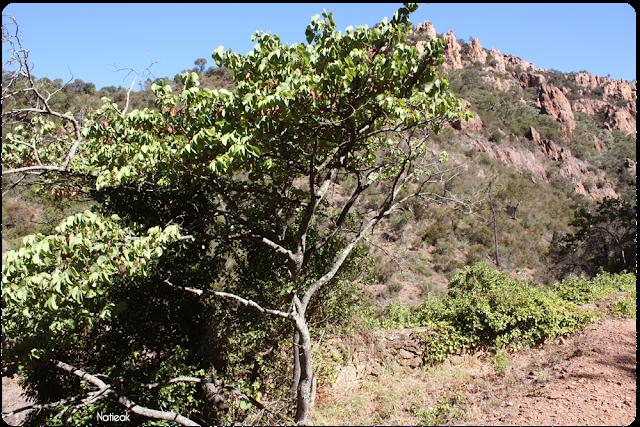 arbre de Judée dans le Massif d'Esterel