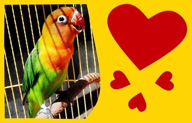 صوت طيور الحب lovebird song