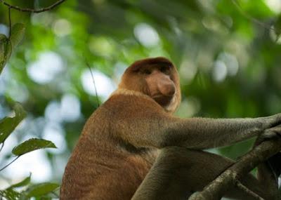 Hidung Mancung Pada Monyet Buat Betina Tertarik