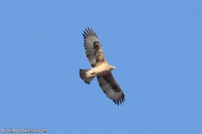 Àguila cuabarrada (Aquila fasciata)