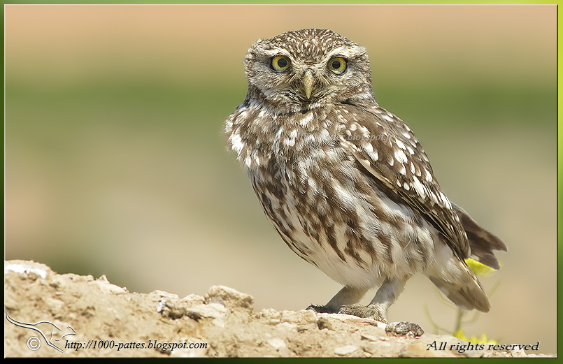 The Little Owl in mythology