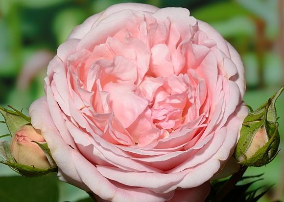 Voyage rose сорт розы фото