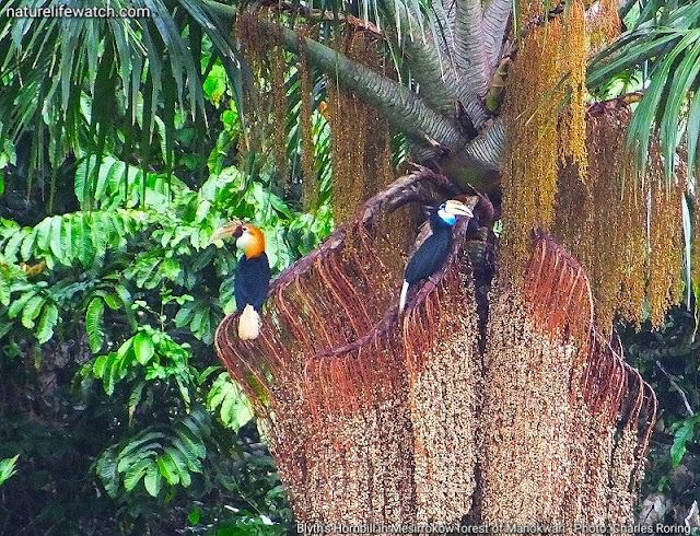 Blyth's Hornbill (Rhyticeros plicatus) in the forest of Manokwari