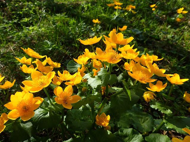 Kępka żółtych kwiatów w reglowej części Tatr