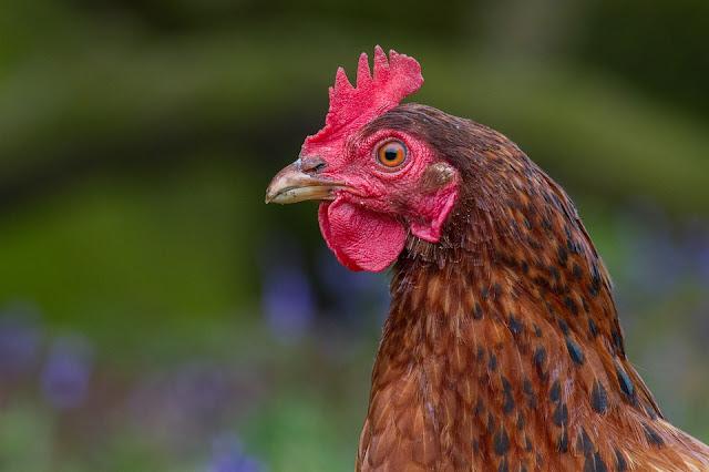 MasyaAllah, Terungkap Bukti Ilmiah, Ayam Berkokok di Pagi Hari Karena Melihat Malaikat