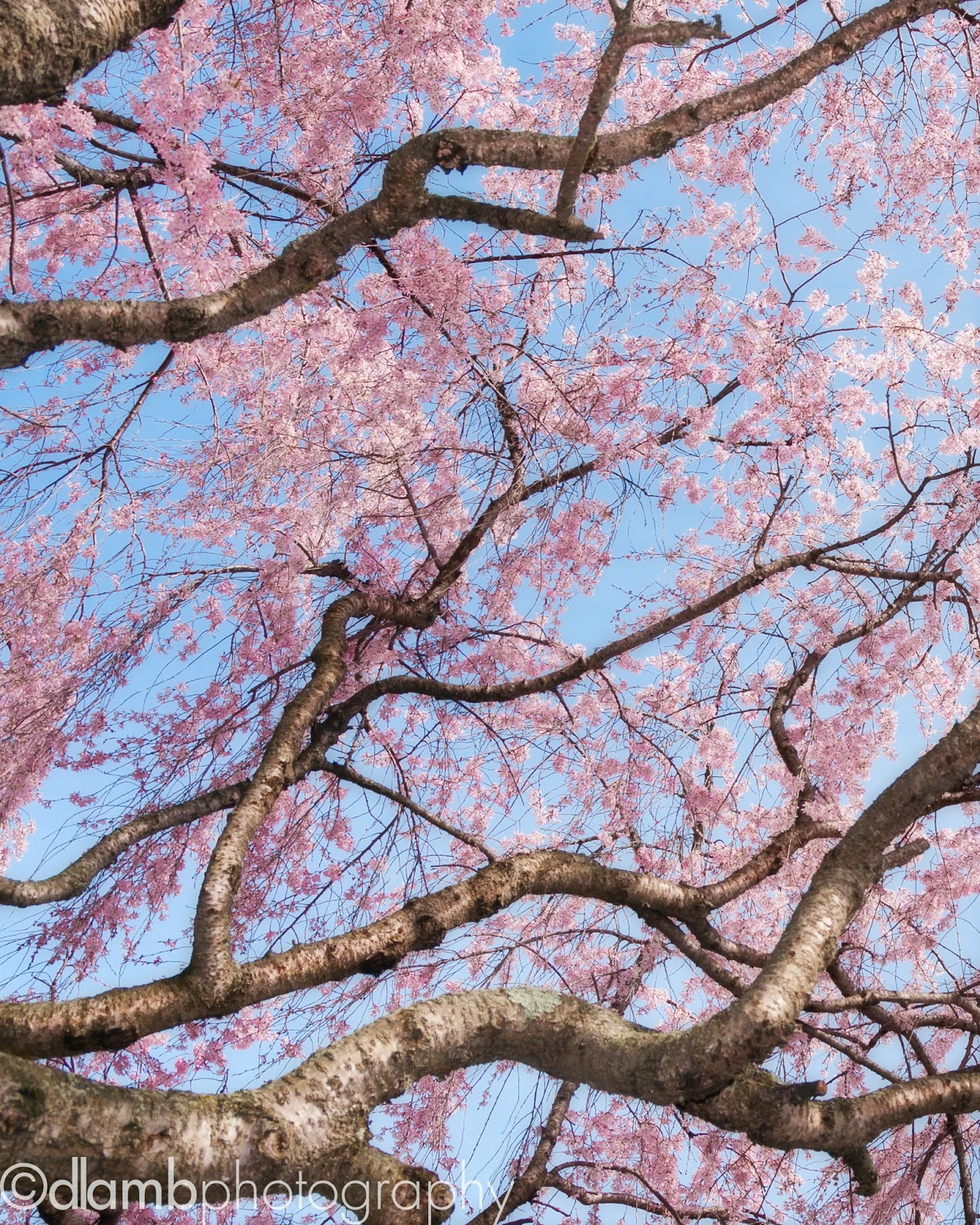 http://david-lamb.artistwebsites.com/featured/cherry-blossom-sky-david-lamb.html