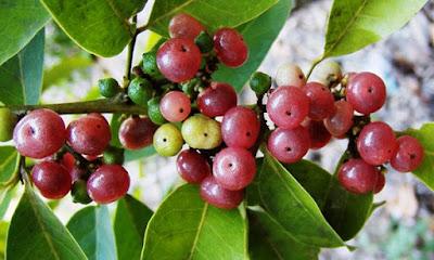 bentuk buah ginberry
