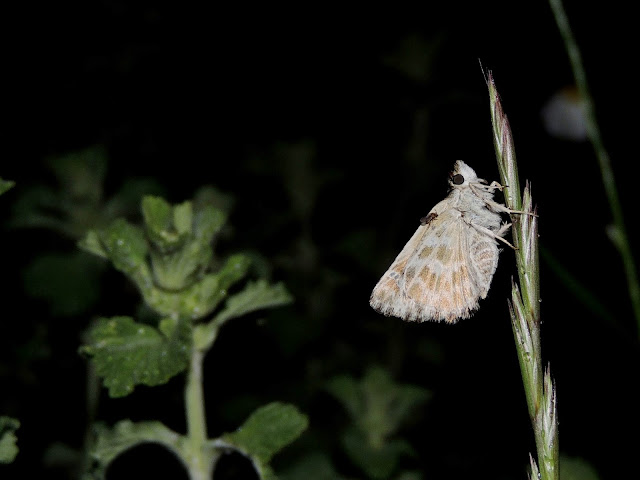 Cacharodus boeticus