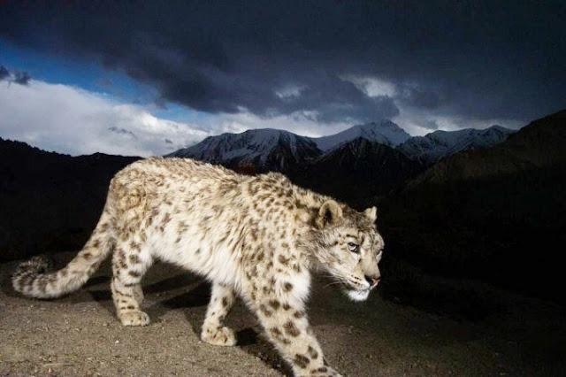 Leopardo foge de zoológico e população de cidade entra em pânico