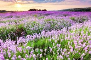 Foto Bunga Lavender Ungu yang Indah 4