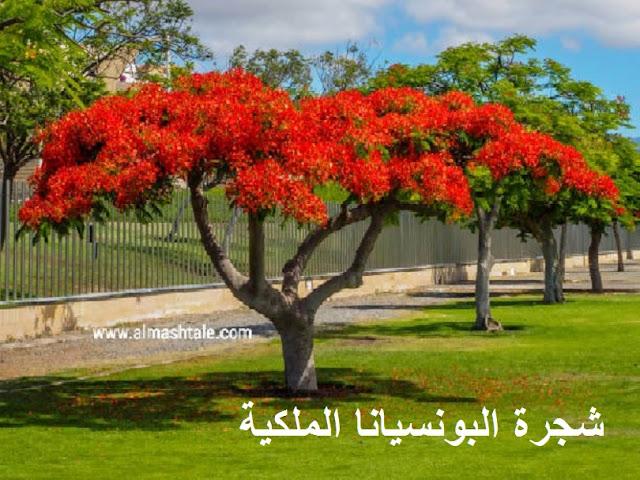 رعاية شجرة البونسيانا الملكية