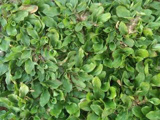 Jual rumput gajah mini | jasa penanaman rumput dan pembuatan taman
