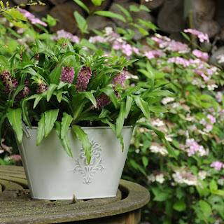 Cultivo de bulbos de flor de verano en macetas y contenedores