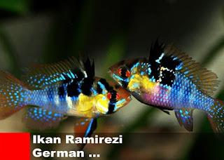 Jenis-Jenis Ikan Hias Ramirezi
