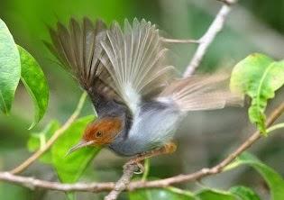 gambar-burung-prenjak