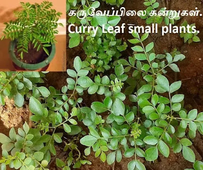 Curry Leaf small plants.