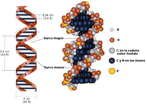 Resultado de imagen de la molécula de ADN está compuesta de muchos átomos, con sus capas electrónicas externas entrelazadas