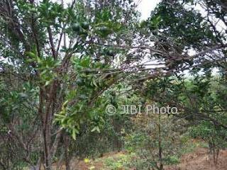 Panen Raya Jeruk Keprok di Desa Segulung Diperkirakan Juni
