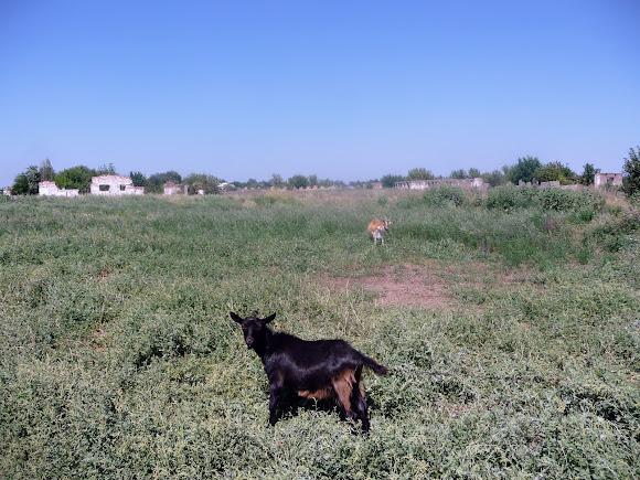 Васильківка. Околиця селища. Кози біля руїн