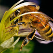 Loss of Honeybee Biodiversity: What is Killing Them?