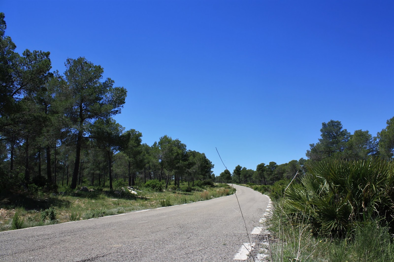 Pine trees on climb of Casas de Benalí, Valencia, Spain