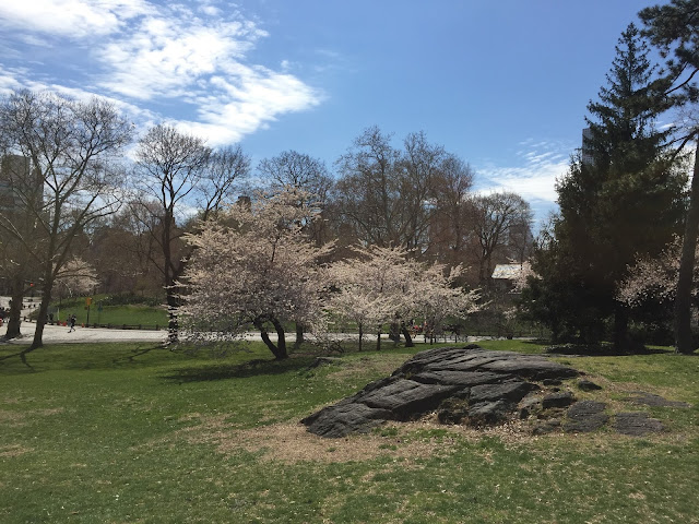 Venture & Roam: Central Park Scenery, trees in bloom, nature