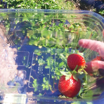 Strawberry pickings - Mooiberge