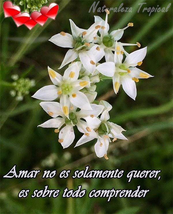Postal de amor con flor de ajoporro
