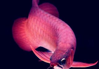 Penyebab serta tutorial menanggulangi Ikan Arwana Menggigit Ekor