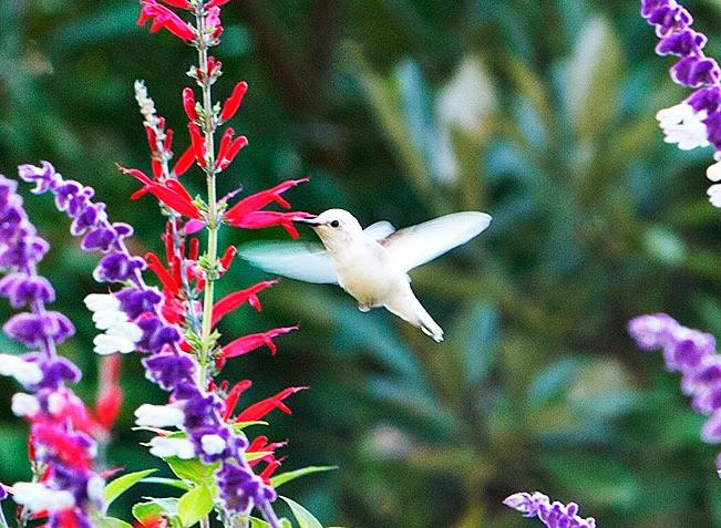 Roses In Garden: White Hummingbird At Inniswood Gardens