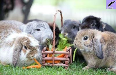 Preparations before making rabbits as pets