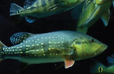 Makanan Peacock Bass Temensis