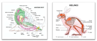 Karakteristik Kelinci dan Siput