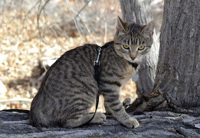 Perawatan Kucing American Bobtail