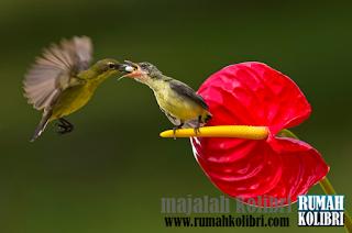 kelapa, sogok ontong, kolibri ninja, sepah raja, wulung
