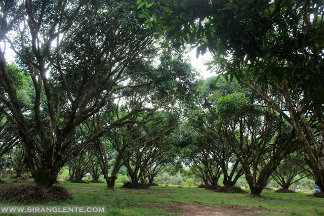 Mango Plantation in Guimaras 2020
