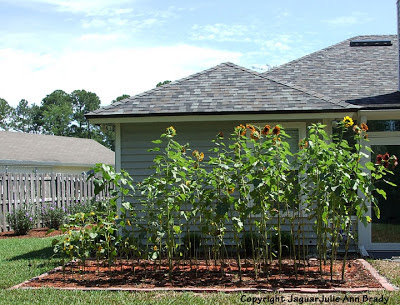 Sunflower Plants Growing in my Garden June 8, 2013