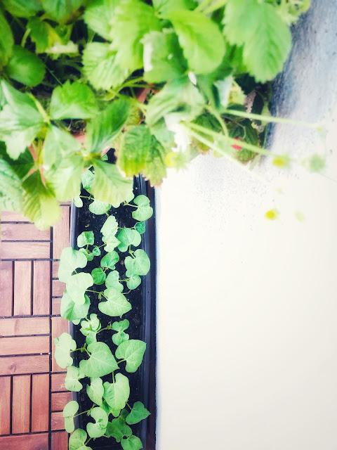 fasola na balkonie