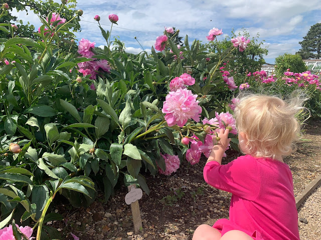 A toddler girl reaching out to look at some pink peonies