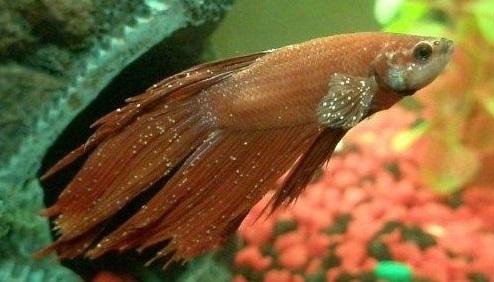 Whitespot pada Ikan Cupang, Penyebab, Gejala dan Cara Mengobatinya