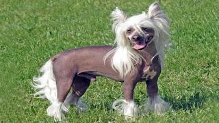 perro crestado chino sin pelo